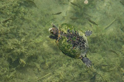 Turtle swimming in the clear water of San Solomon Springs.