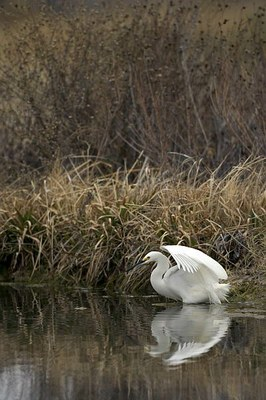 White egret reflected in the water of a cienega.