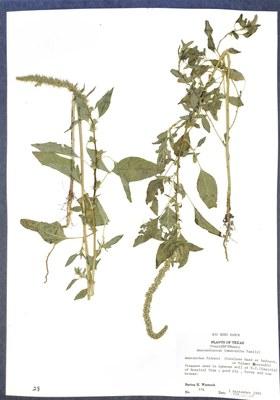 Dried plant specimen