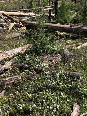 plants growing around burned and fallen tree trunks