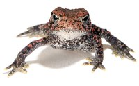 Toad looking at camera on white background.