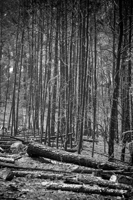 Trees after fire.