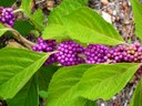 beautyberry shurb with magenta berries