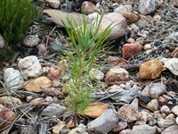 tiny pine seedling