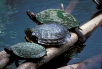 Three red-eared sliders perched on a log in the river.