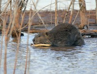 Beaver chewing on stick in shallow water