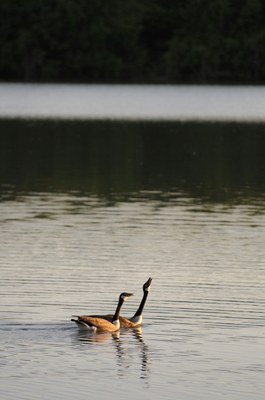 Two Canada geese floating on the lake