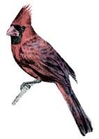 Illustration of Northern cardinal