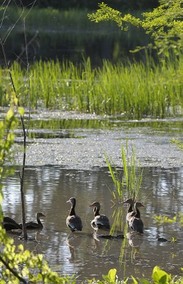 Ducks wading in the marsh
