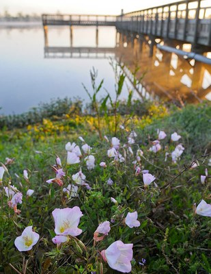 Wildflowers blooming with a pier jutting out into water behind