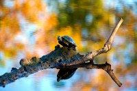 Red-eared slider sitting on a log