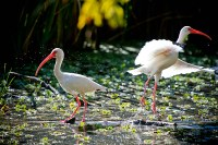Two American white ibis