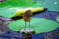 Little bird standing on lily pad