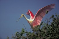 Flamingo in tree