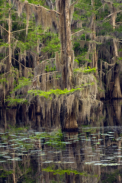 Cypress trees draped in Spanish moss and reflected in water