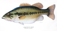 Illustration of largemouth bass