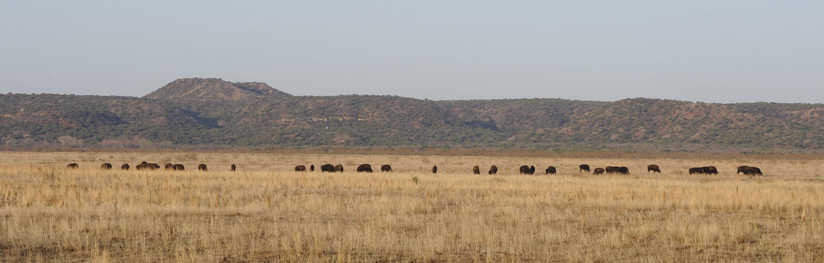 Bison scattered across field