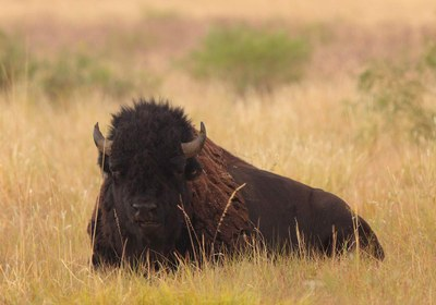 Bison sitting in the plains grass
