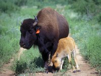 Mother bison with baby leaning against her