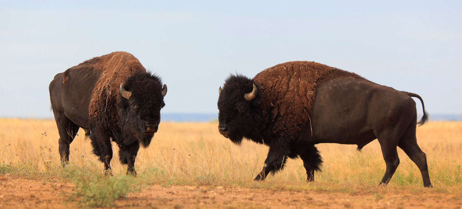 A home where the Texas State Bison Herd can roam – Off the Kuff