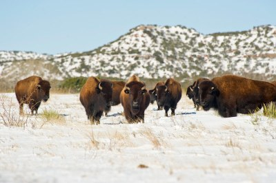 Bison standing on snowy ground