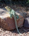 lizard perched on rock