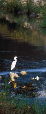 White bird standing on rock in water