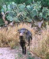 Javelina standing in front of prickly pear