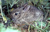 Cottontail rabbit hiding in grass