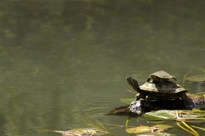 red-eared slider turtle sitting on a log at water's edge