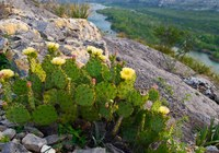 Blomming prickly pear on a hill with river beyond