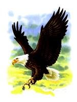 illustration of bald eagle in flight
