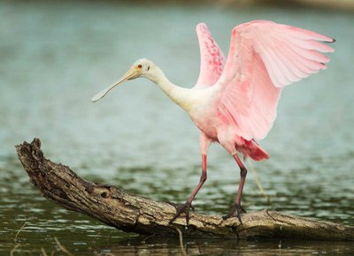 large bird on log in water with pink wings outstretched