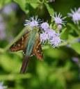 moth on mistflower
