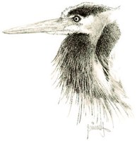 drawing of a heron's head