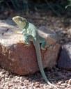 Collared-Lizard_800p.jpg