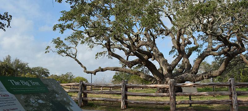 Big Tree Goose Island State Park Texas