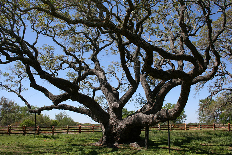 Goose island state park the big tree texas parks wildlife department big tree sciox Choice Image