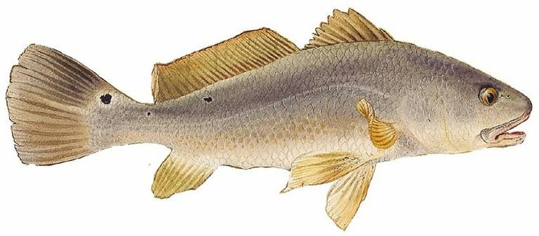 Illustration of red drum fish