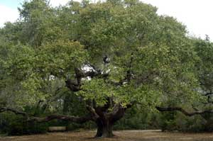 Big Tree covered in green healthy leaves