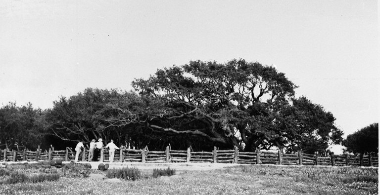 The Big Tree, ca. 1935.