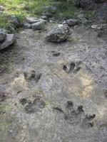 Dinosaur trackway in creekbed