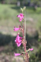 Hot pink flowers of penstemmon