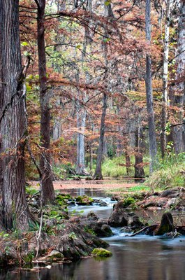 View up the creek with fall colors on the bald cypress trees