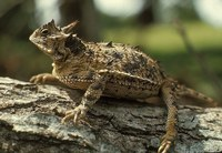 Texas horned lizard sitting on a tree