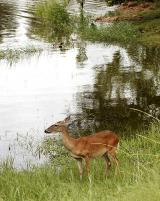 Deer at edge of lake, with duck swimming.