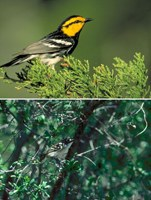 golden-cheeked warbler and black-capped vireo