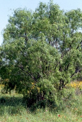 copy_of_MESQUITETREE_075.jpg