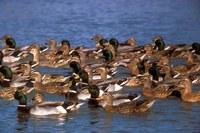 Group of mallard ducks floating on lake