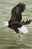 Illustration of bald eagle clutching just-caught fish.